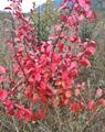 常青彩葉冬紅黃楊 1