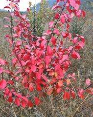 常青彩葉冬紅黃楊