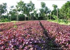 紫葉加拿大紫荊