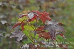 紅國王挪威槭