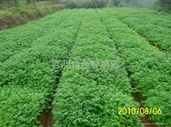 紅油香椿種苗