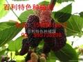 台湾桑葚种苗