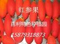 紅蜜果種子批發