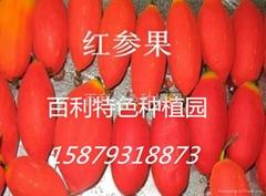 红蜜果种子批发