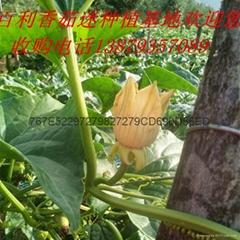 香茹蜜种子