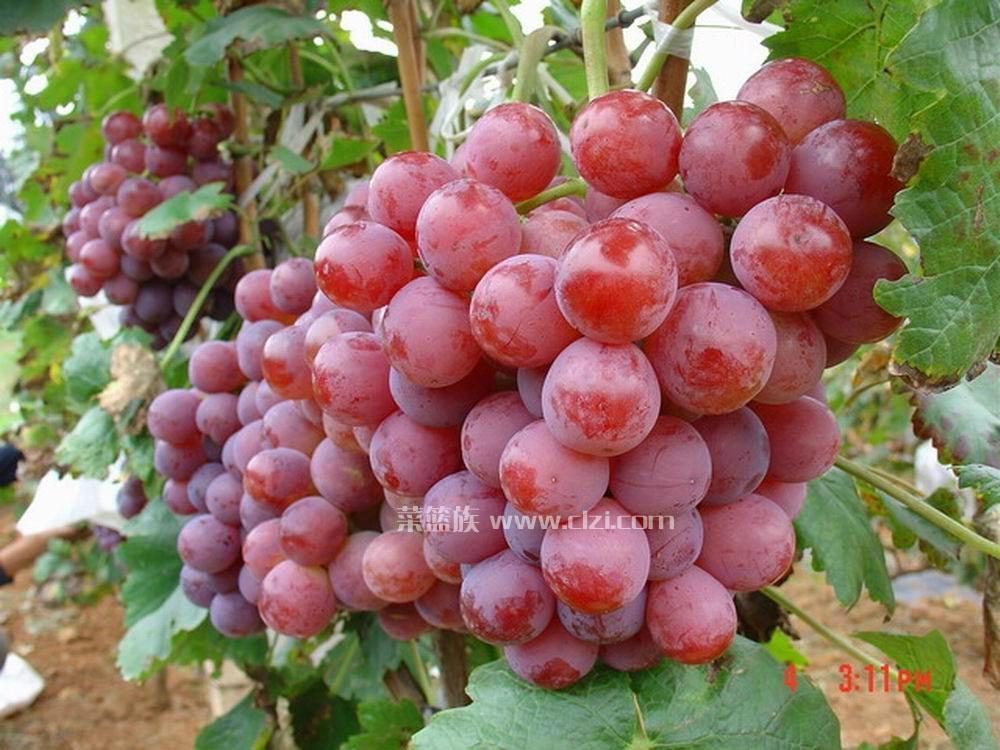 陕西高原红提葡萄 1