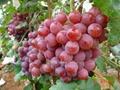 陝西高原紅提葡萄 1