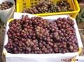 陝西高原紅提葡萄 2