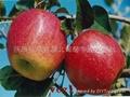 Qinguan apple (Fresh Qinguan Apple)