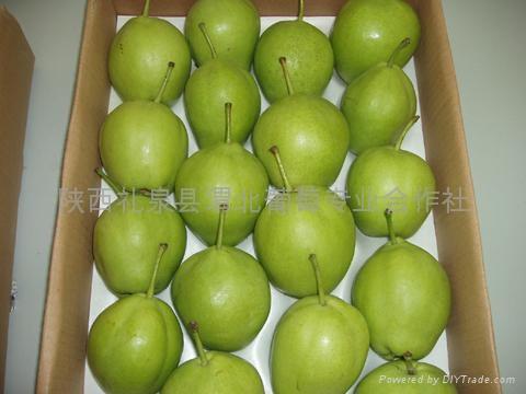 陕西早酥梨 1
