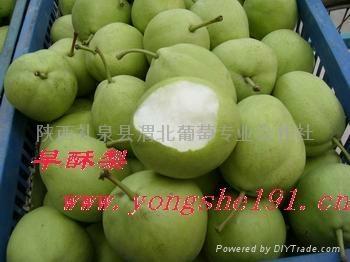 shannxi's early su pear 2
