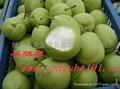 陕西早酥梨 2