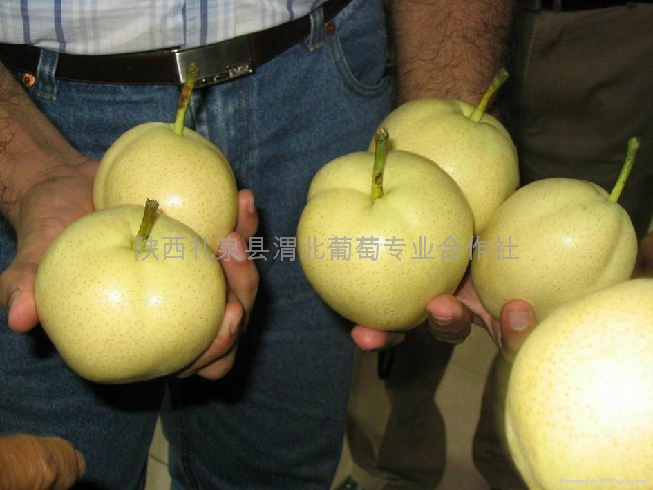 陕西早酥梨 3