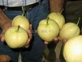 shannxi's early su pear 3