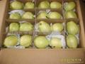 陕西早酥梨 4