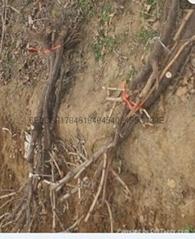 陝西佔地葡萄樹