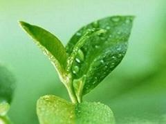 Green Tea Polyphenols P.E