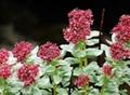 Rhodiola Rosea Extract 6