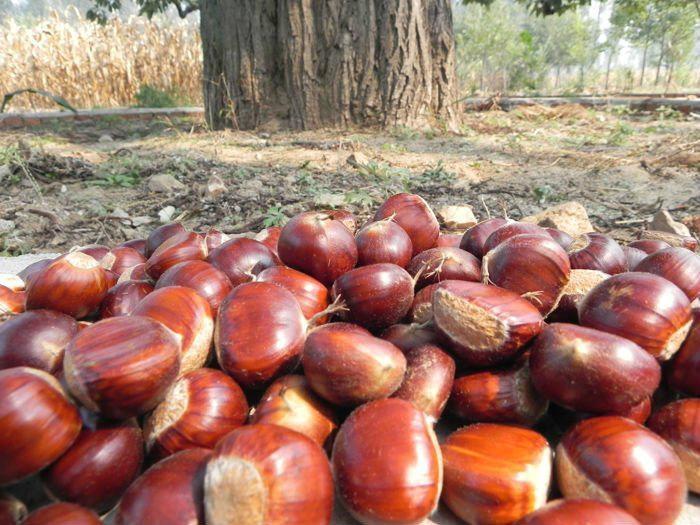 Fresh Chestnuts--New Crop 2