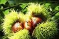 Fresh Chestnuts--New Crop 5