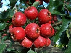 Quicking freezing Fresh hawthorn Berry