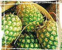 菠蘿蛋白酶 1