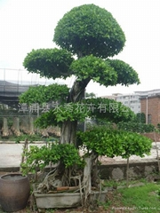 多層次造型榕樹樁頭