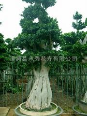 氣根造型小葉榕樁頭