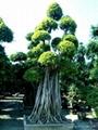 造型榕樹樁頭