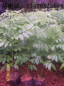 海南黃花梨苗 1
