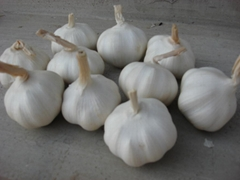 china garlic
