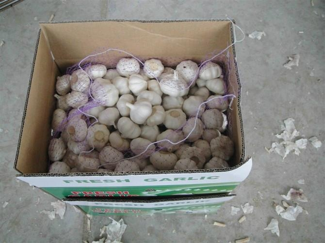 chinese fresh garlic 1