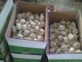 fresh china garlic from chinese garlic factory 4