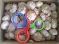 fresh new garlic 2
