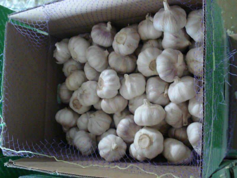 fresh new garlic 5