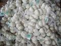 pure white garlic.normal white garlic.fresh garlic.garlic factory 1