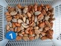 Mussel meat (Mytilus edulis)
