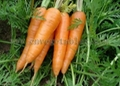 Fresh Carrot Shandong variety