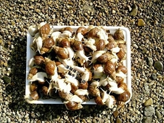 鮮活白玉蝸牛