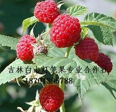 双季红树莓苗
