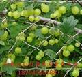双季红树莓苗 2