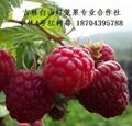 双季红树莓苗 4