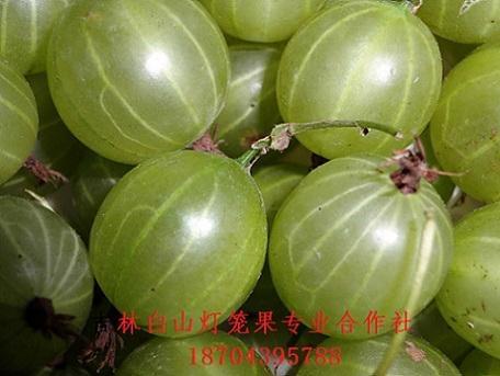 双季红树莓苗 5