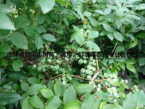 蓝莓苗 1