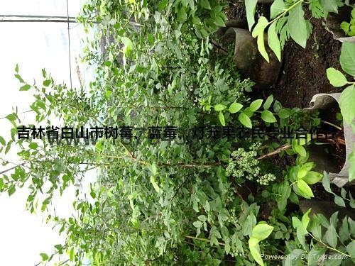 蓝莓苗 5