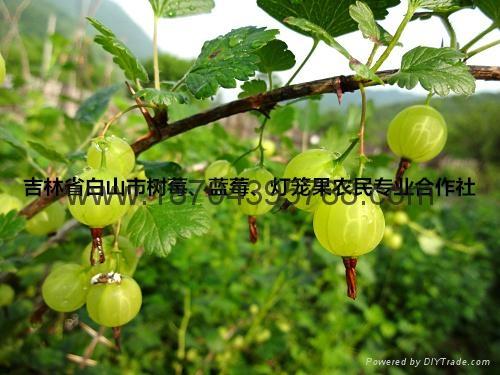 灯笼果种苗 1