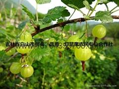 灯笼果种苗