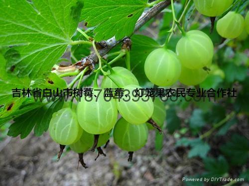 灯笼果种苗 3