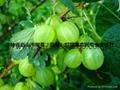 灯笼果种苗 5