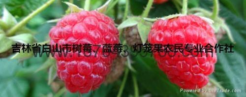 树莓种苗 1